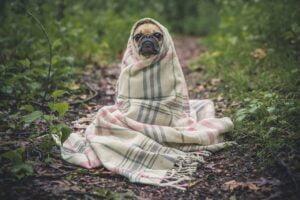 Hund i tæppe